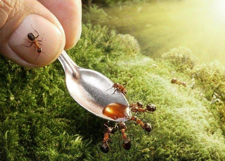 Ants attracted by honey
